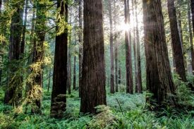redwood nat geo